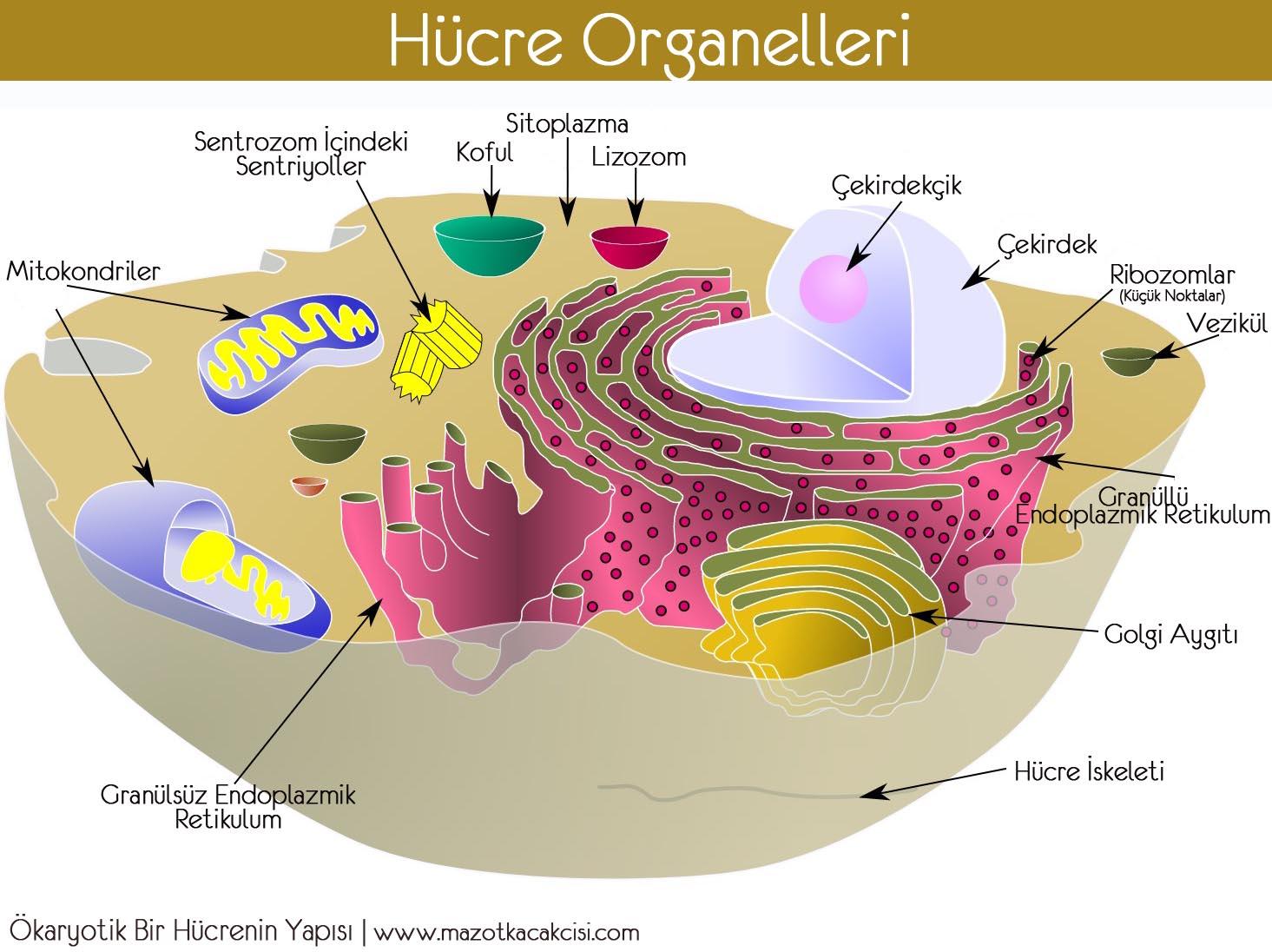 Organeller ... Fonksiyonlar, organellerin yapısı