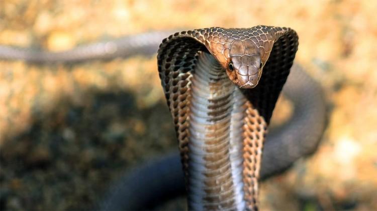 kral kobra ile ilgili görsel sonucu